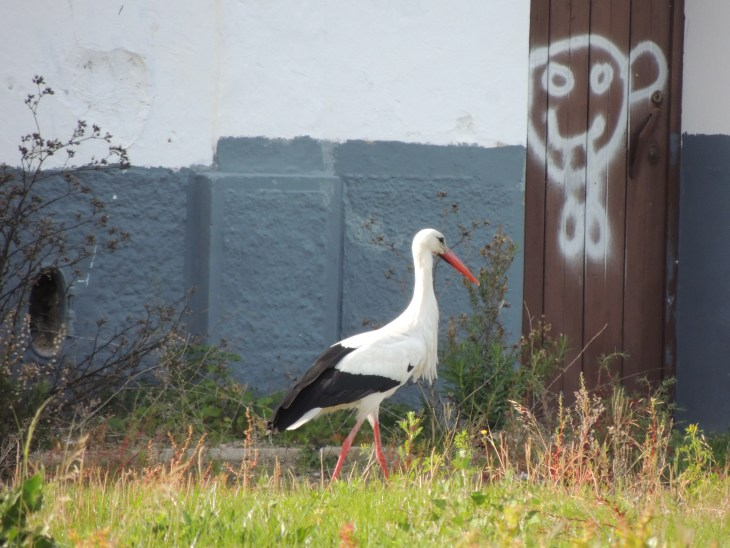 European White Stock and Olhão graffit on the waste ground behind the Real Marina Hotel & Spa, Algarve