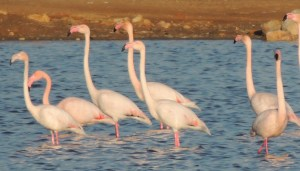 Flamingos in Olhao in the salt pans