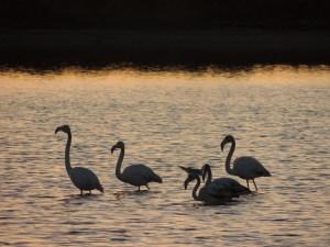 Olhao Flamingos at Sunset