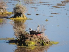 Stilt on a nest