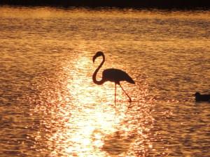 Flamingo in Silhouette