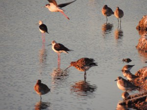 Grey Plovers, Dunlins, Blank-Winged Stilts and Black Tailed Godwits - recently arrived and tired.