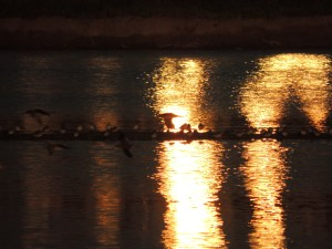 The way the light fell across the saltpan with the waders on the bank caught my attention, and then I realised there were Red Shanks flying past