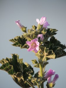 Small Tree Mallow (Lavatera cretica) - very common waste ground