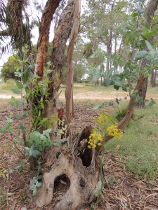 In the woods there was Eucalyptus and the villous deadly carrot