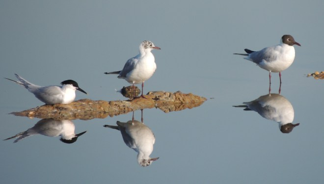 Two Black-Headed Gulls with a Sandwich Tern