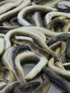 Elvers- Glass Eels