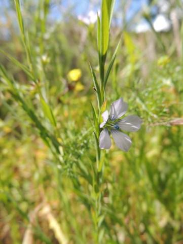 Pale Flax