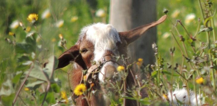 Billy Goat Gruff