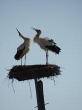 Stork Courtship