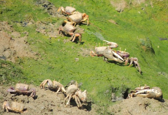 male-fiddler-crabs