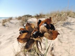 beach-seeds