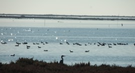 Coots with Heron in profile