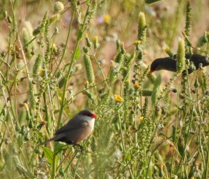 Common Waxbill foraging