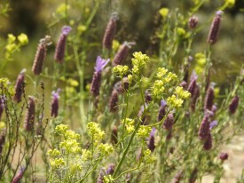 Amongst the lavender