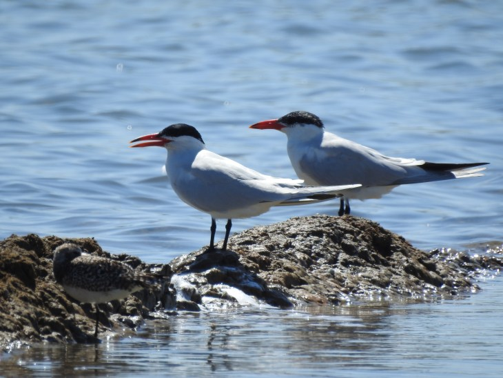The largest of all the terns