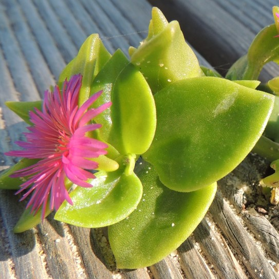 Aptenia cordifolia - an iceplant native to South Africa
