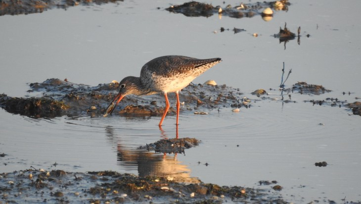 Common Redshank with crab