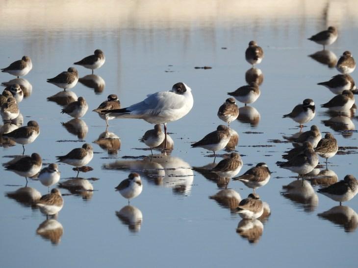Black Headed Gull amongst wading friends