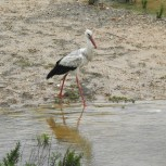 Muddy stork in a puddle with its lunch