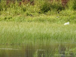 Little Egret & Swallows