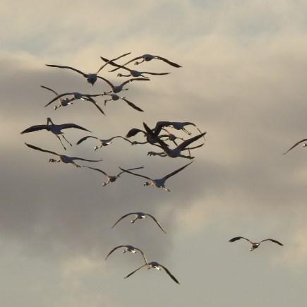 Flamingos at sundown
