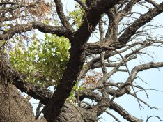 Cork oak in recovery