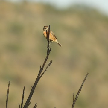 Stonechat (female)