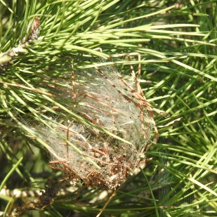 Nest of pine processiionary larvae