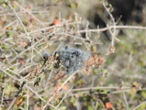 Thaumetopoea herculeana