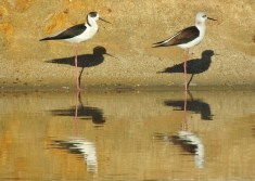 More Black winged stilts!