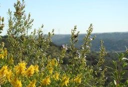 Gorse and rosemary