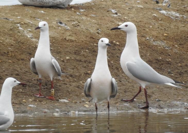 Slender Billed Gulls