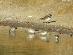 Ringed Plover, Dunlins and Little Stint