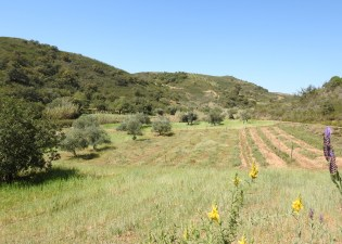 Cultivation under olive trees