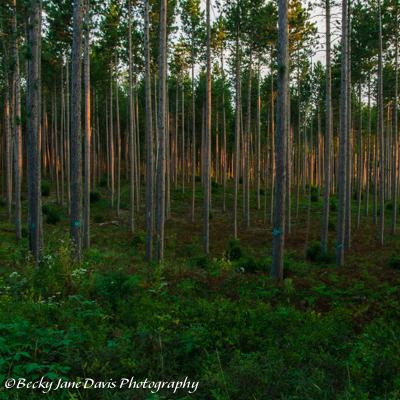 Pine Plantation Ribbon of Gold