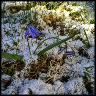 Scilla and Snow