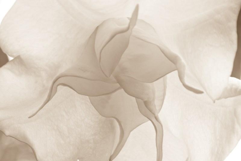 Delicate Balloon Flower, in Open Lens VII Exhibit