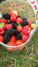 Strawberry Picking at Tillington, England