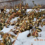 Euonymus 'Moonshadow' in the snow