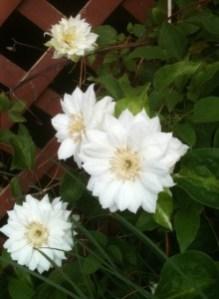 Clematis beckys flower farm nw arkansas white clematis mightylinksfo