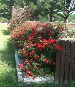 Red Meidiland Rose