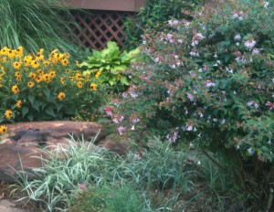 Perennial Border with Hosta, Rudbeckia and Edward Goucher Abelia with pink flowers on right
