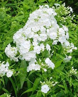 white garden phlox - Tall Garden Phlox
