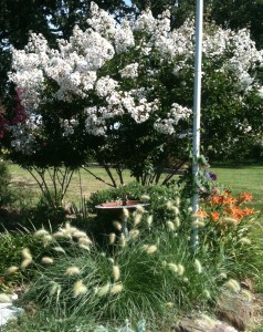 Feathertop Grass with white Crape Myrtle