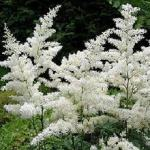 White Astible