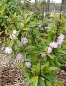 Flowering Almond with early leaves
