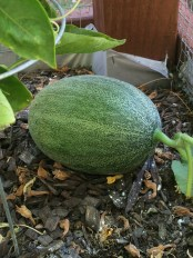green cantaloupe