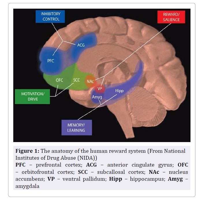 Image of Brain Circuits in Addiction
