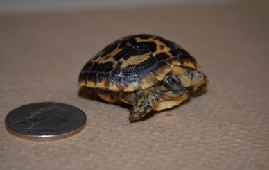 Hatchlings emerge not much bigger than a quarter, but they do grow quickly.